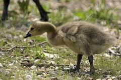 Gosling (Tim Lester Images) Tags: zoo wildlife gosling canadagoose brantacanadensis wildlifeprairiestatepark canonef300mmf28lisusm wpsp canonefextender2xii canoneos40d monthlychallenge