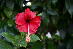 Red flower (rahul awasthi) Tags: red flower greenleafs