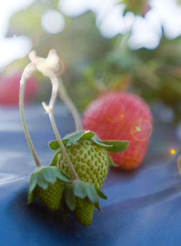 苗栗採草莓
