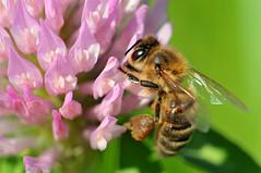 [フリー画像] [節足動物] [昆虫] [蜂/ハチ] [蜜蜂/ミツバチ]       [フリー素材]