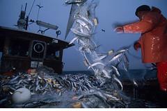 HOF_09031 (Florian Moellers) Tags: spring balticsea fr ostsee herring fishery str fischfang fisheries matjes deutschlandgermany fischerei commercialfisheries frhling clupeaharengus atlantischerhering heringsfischer kommerziellerfischfang fischereigenossenschaft ostseehering baltischerhering freestmecklenburgwesternpome strmling