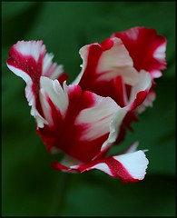 Parrot Tulip (Liisamaria) Tags: friends soe defenders excellence blueribbonwinner beautifulshot languageofflowers theloveshack ilovemypic heartawards macromarvels excellentflowers natureislovely macroflowerlovers excellentsflowers macrolovers excellentsflower natureselegantshots mimamorflowers qualitypixels awesomeblossoms grouptripod oneflowerperday naturescreations thebestofmimamorsgroups dmepaislejasmin lizasenchantingphotogarden floralfantasia perfectpetails