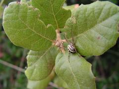 Araita a la carrera (esta_ahi) Tags: barcelona espaa fauna spider spain arachnida peneds araas aranyes ordal