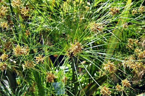 Cyperus papyrus (rq) - 02