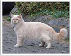 Neuer Nachbarkater - A new tomcat in the neighborhood