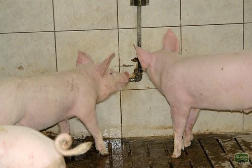 Schweinemast in Österreich