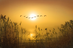 In gods eye!! (adrians_art) Tags: winter mist water birds silhouette fog sunrise reeds wings flight rivers portfolio canadageese supershot infinestyle