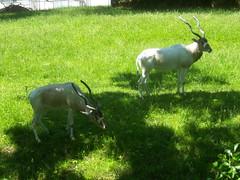 Philadelphia Zoo - Addax (fkalltheway) Tags: antelope philadelphiazoo africanplains addax fkalltheway