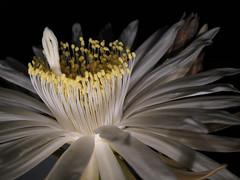 Perniocereus serpentinus-3s (fernandodelatorre46) Tags: cactus brasil mxico cacti mexico cultivatedcactus