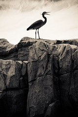 Loud Heron (Simple Insomnia) Tags: seattle park bird heron woodland zoo rocks moody woodlandparkzoo