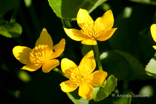 Cowslips (marsh marigold) (Caltha palustris)-9.jpg