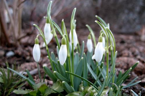 february flora - snowdrops