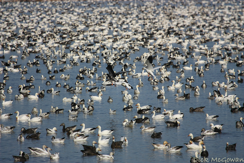 Snow Geese + Squaw Creek