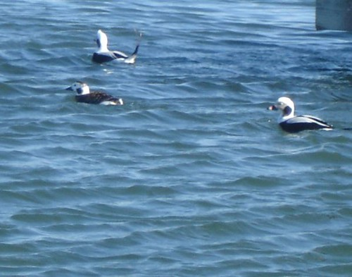 Long-tailed Duck Demonstrates the Validity of its Name