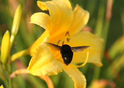 animals insects Zangão Joanópolis flowers yellow Voo flying