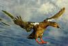 On Blue Bayou (ozoni11) Tags: bird texture nature birds animal animals duck interestingness nikon ducks explore textures mallard waterfowl hen mallards hens 210 interestingness210 i500 michaeloberman ozoni11 explore210