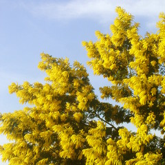 L'albero del Sole...Buona giornata dell'8 Marzo! (White Red Flower) Tags: flowers tree alberi fiori mimosa womensday 8marzo suntree explorefrontpage festadelladonna acaciadealbata explore21