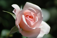 Pink Rose (NVBOB2) Tags: tcf bigmomma friendlychallenges thechallengefactory yourock1stplace