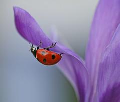 Another ladybird (nutmeg66) Tags: spring crocus ladybird february 2009 bej colorphotoaward ubej sensationalphoto
