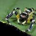 Zebra stripe Jumping Spider by Kurt
