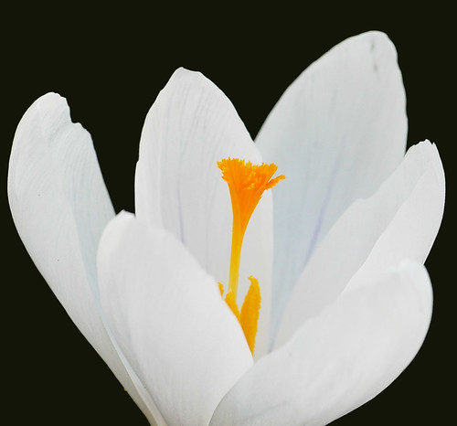 photograph white crocus on black background