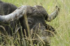 Solitary male buffalo portrait (PimGMX) Tags: portrait closeup southafrica buffalo wildlife porträt portret capebuffalo kruger gamedrive buffel synceruscaffer africanbuffalo afrikaansebuffel affalo