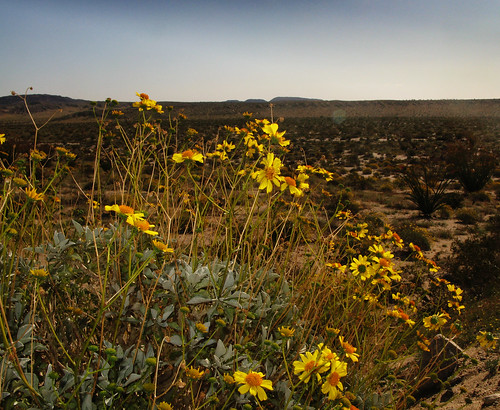 Yellow desert flowers
