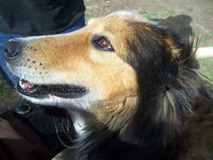 a collie in profile.jpg