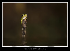 Frog ... reflection ... pp version