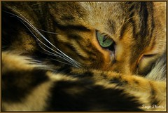 I See You! (iTail ~ Steve Page) Tags: brown green loving cat gold fast leopard demanding protective dedicated soe indonesian attentive myboy alert gentle aware independant agile dependant docile bengel supershot mywinners abigfave platinumphoto theunforgettablepictures canoneos5dmarkii goldstaraward excapturemacro rubyphotographer 100commentgroup vosplusbellesphotos margle indonesianleopard expressyourselfaward