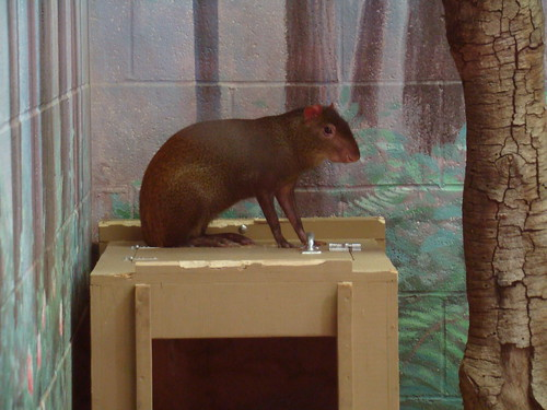 Red-rumped Agouti at the Los Angeles Zoo
