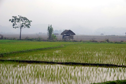 beautiful rice paddies, luang nam tha