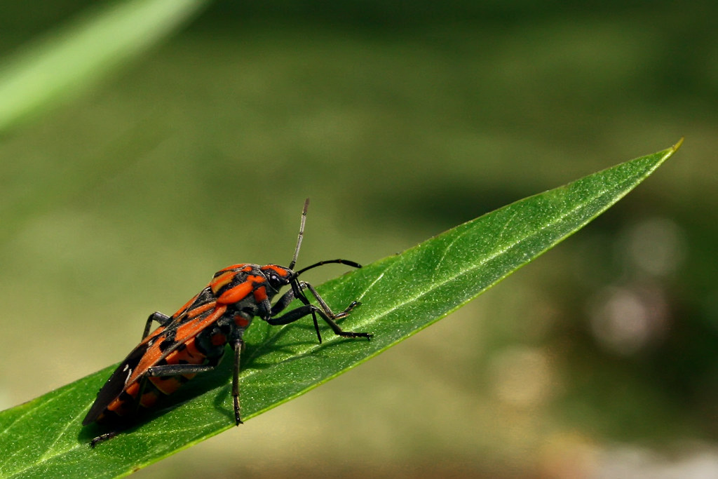 Red & Black Bug...