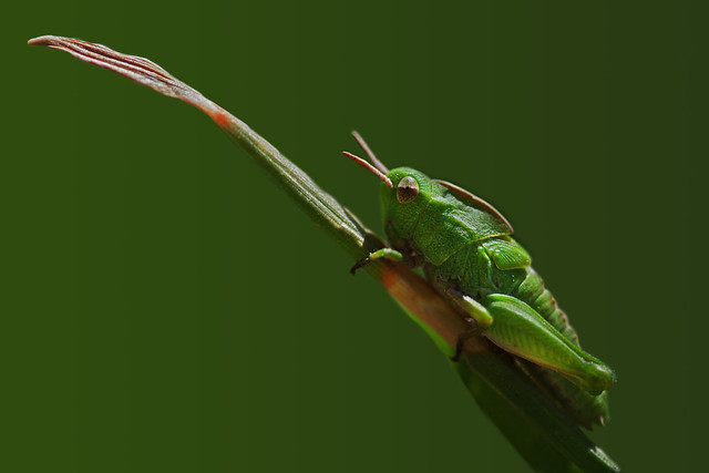 Northern Green-striped Grasshopper (Chortophaga viridifasciata)