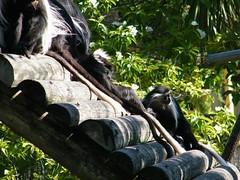 dhh bm (dmathew1) Tags: tampa florida lowryparkzoo babywhitetiger babymandrill babyorangatun babycolobusmonkey babyguenon