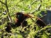 dhh br (dmathew1) Tags: tampa florida lowryparkzoo babywhitetiger babymandrill babyorangatun babycolobusmonkey babyguenon