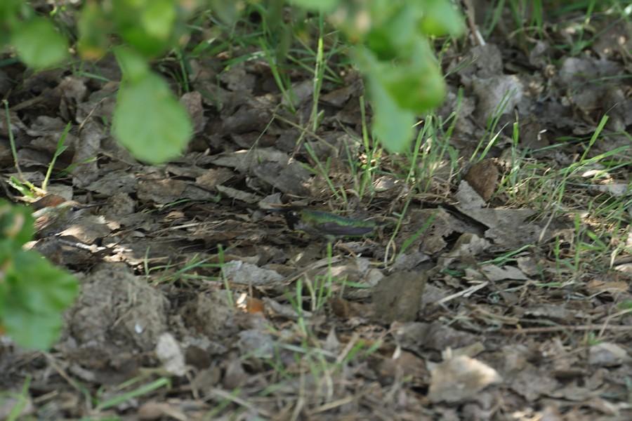 Anna's Hummingbird -b 04091