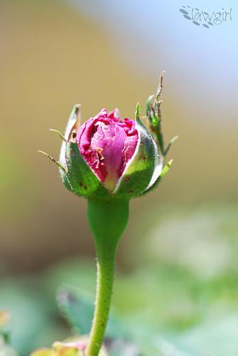 ABG_Blooming_Rosebud[2009]