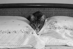 DSC_6856 (Giacomo Cosua) Tags: cat miao gatto animale subi giacomo soriano cosua wwwcosuaitgiacomo