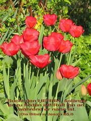 Tulpen (Martin Volpert) Tags: flower fleur blossom faith prayer jesus flor blossoms pflanze kirche blumen bible blomma blume bibbia fiore blte blomst bibel virg gemeinde lore biblia tulpe bloem blten blm iek floro kwiat flos beten ciuri gebet bijbel kvet kukka cvijet ecclesia flouer blth jesuschristus cvet zieds is floare blome iedas bibelverskarte mavo43