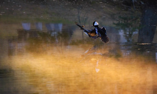 Hooded Mergansers Landing in the Mist