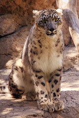Snow Leopard of Santa Barbara Zoo (MickiP65) Tags: california wild usa cats nature animal animals santabarbara cat mammal zoo la us feline asia wildlife exhibit creation socal leopard bigcat northamerica wildcat lazoo creatures creature mammals 2009 exhibits bigcats snowleopard animalia mammalia allrightsreserved carnivore zoos wildcats leopards copyrighted unciauncia santabarbarazoo carnivora felidae snowleopards chordata canoneos30d pantherauncia pantherinae michellepearson 04192009 041909 apr192009