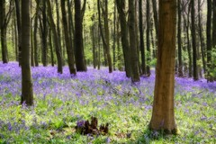 tender bluebells (Linda Cronin) Tags: wood flowers blue sunshine bluebells kent spring pretty soe orton delightful shoreham coth gamewinner bej challengeyouwinner mywinners abigfave 3waychallengewinner anawesomeshot aplusphoto 15challengeswinner motifdchallengewinner a3b friendlychallenges naturethroughthelens elitephotographer dragondaggerphoto saariysqualitypictures pregamewinner