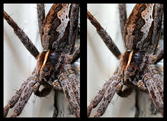 Spider - cross eye 3d (sveinsvoll) Tags: macro spider 3d crosseye stereo brilliantideas photostacking