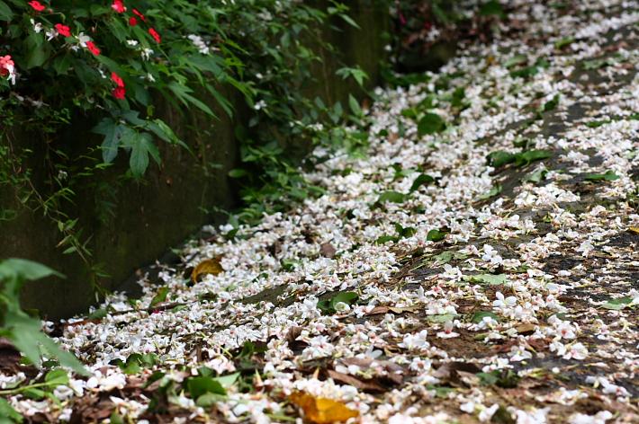 三峽賞桐鳶山步道、銅鐘39