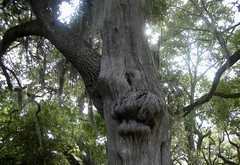 Oak or Cedar (countrygirllm321) Tags: louisiana oaktree cedartree southlouisiana rosedownplantation unusualtree oakcedartree