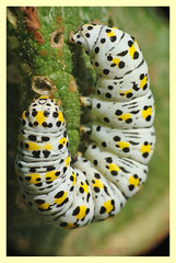 Cucullia verbasci (PheCrew) Tags: macro closeup photoshop bug makro insekt insetto insecte insecto phe soken shargacuculliaverbasci cuculliaverbasci