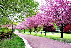 Sakura blossom (John the Neath) Tags: park pink tree grass price fence cherry blossom path rugby stephen copper cherryblossom windsor sakura faulkner soe frontrow beech lampposts naturesfinest blueribbonwinner pontypool mywinners superaplus aplusphoto ultimateshot platinumheartaward seenonflickr saariysqualitypictures thebestofmimamorsgroups peopleenjoyingnature newgoldenseal