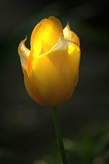 glowing yellow tulip (*mvh) Tags: flower macro green yellow garden spring stem pretty sigma tulip glowing lovely fff 70300 walkinginbeauty flowerpicturesnolimits freeflickrflowers
