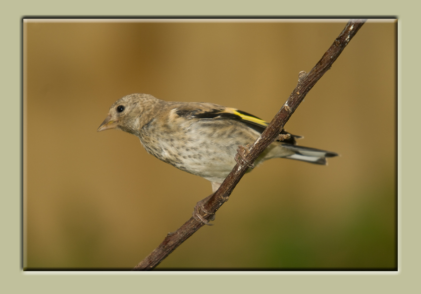 Goldfinch GP 2